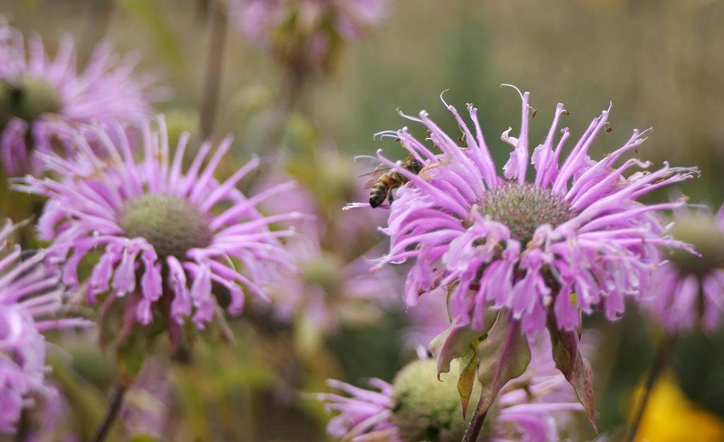Purple bee balm in a garden