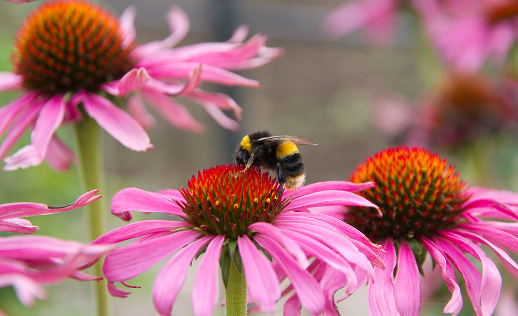 A bee on a pink coneflower