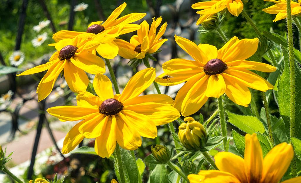 Black-eyed Susan blooms in a garden