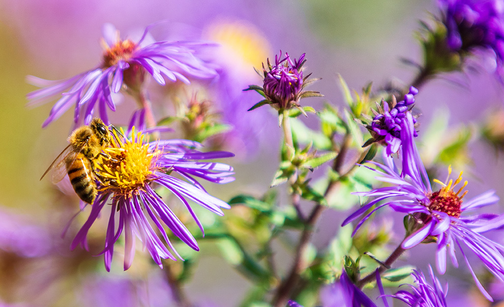 Bee nectaring on a purple aster