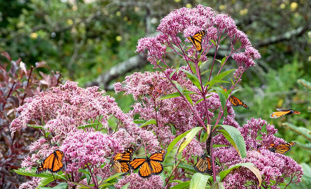 Butterflies on pink Joe Pye weed