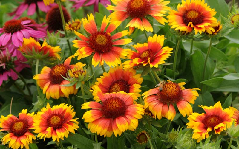 Best Hardy Perennials To Plant Now The Home Depot