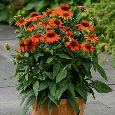 7 Hardy Perennials to Plant and Enjoy Now