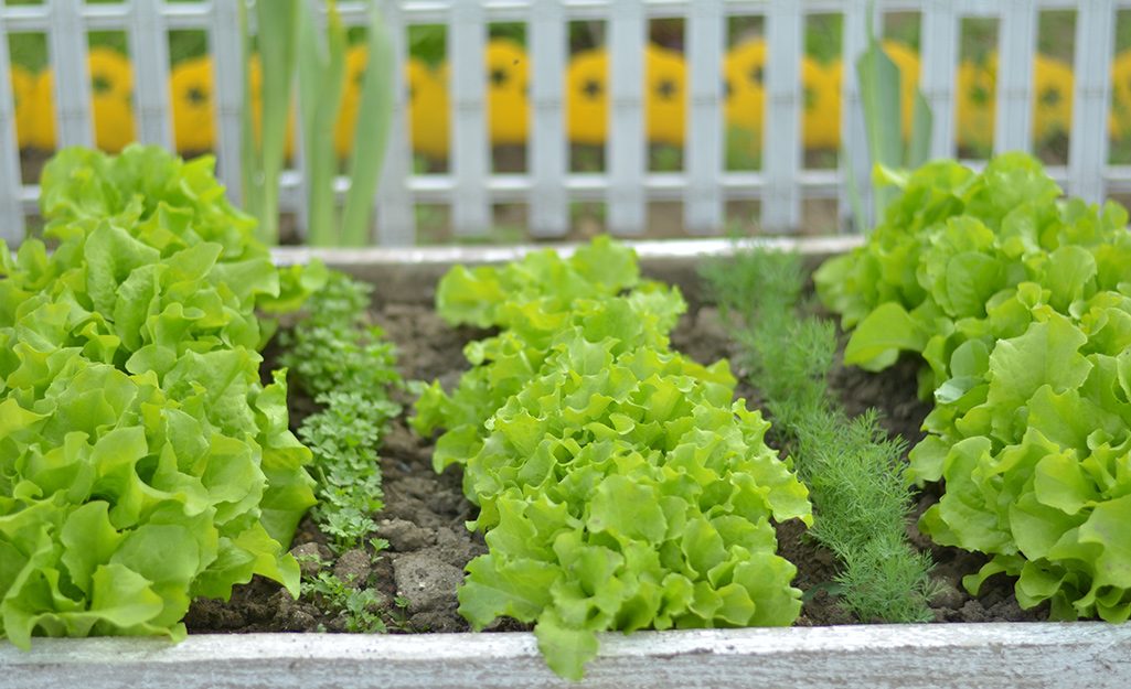 Lettuce and spinach in the garden