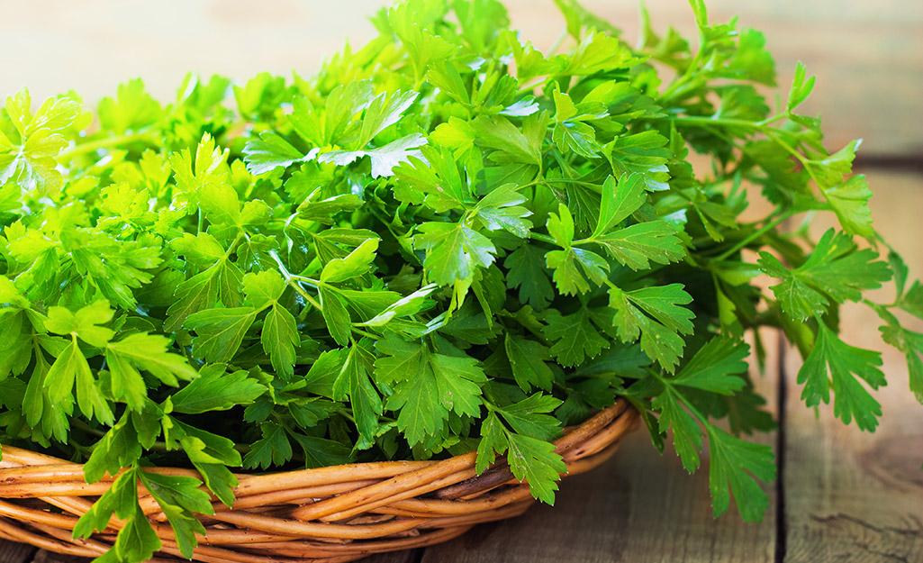 Flat-leaf parsley in a basket