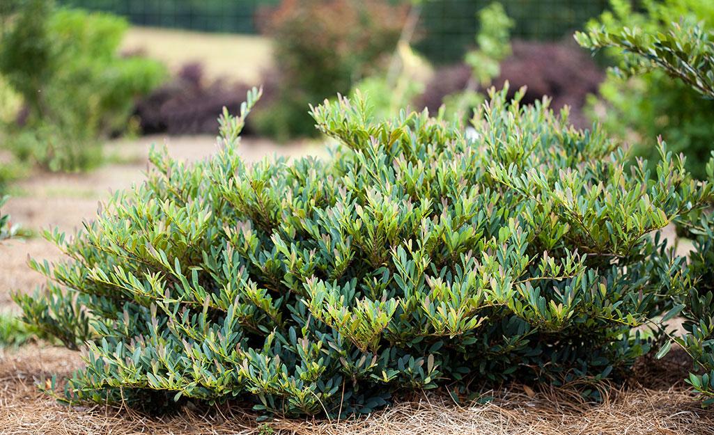 Green dystilium shrub in a landscape bed with pine straw mulch.
