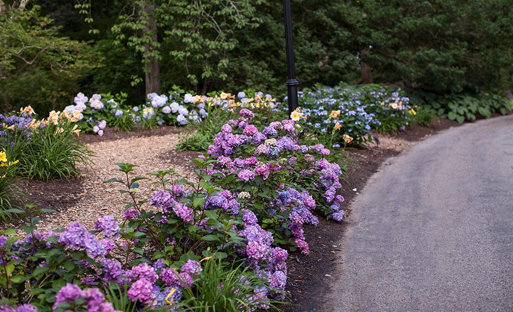 Purple 'Endless Summer' hydrangeas in a landscape bed.