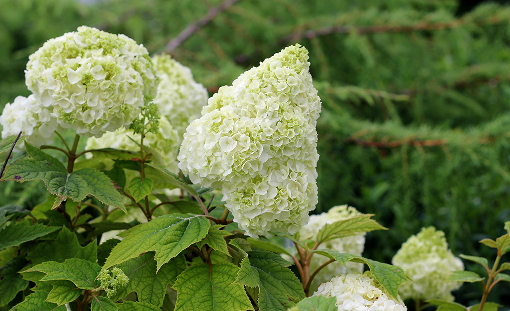 White plume of oakleaf hydrangea in summer.