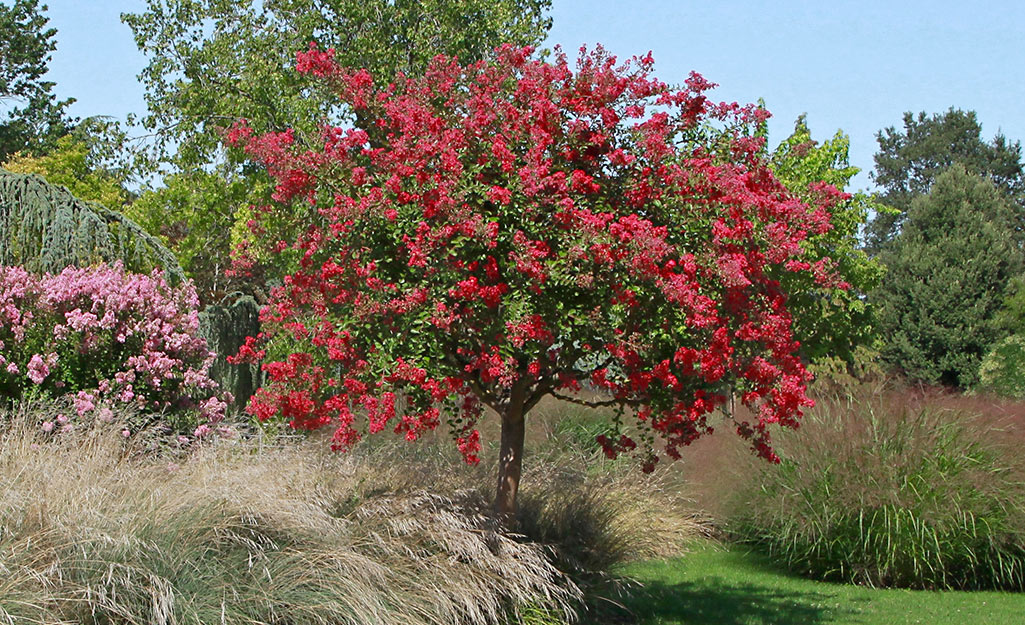 Red crape myrtle in the landscape.