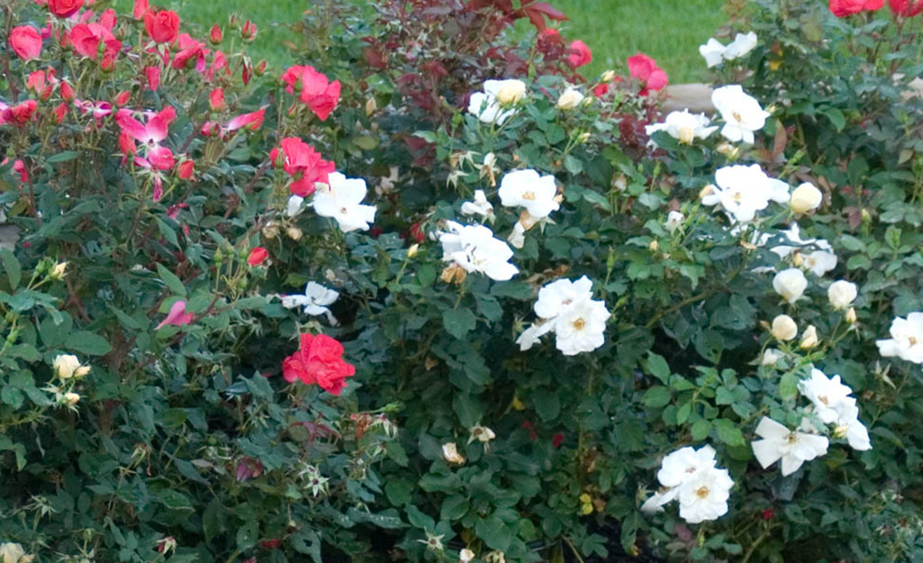 Knockout roses in the landscape.