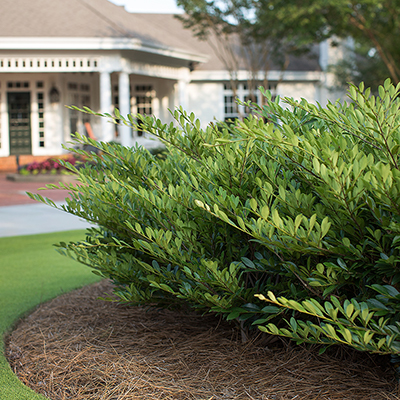 Evergreen shrub in landscape on sunny day.