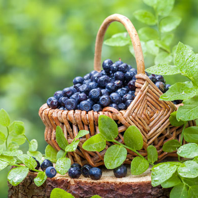 All About Growing Blueberries
