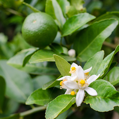 Time to Fertilize Citrus Trees When You See Flowers