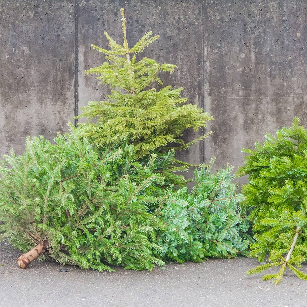Discarded Christmas trees lying on a curb.