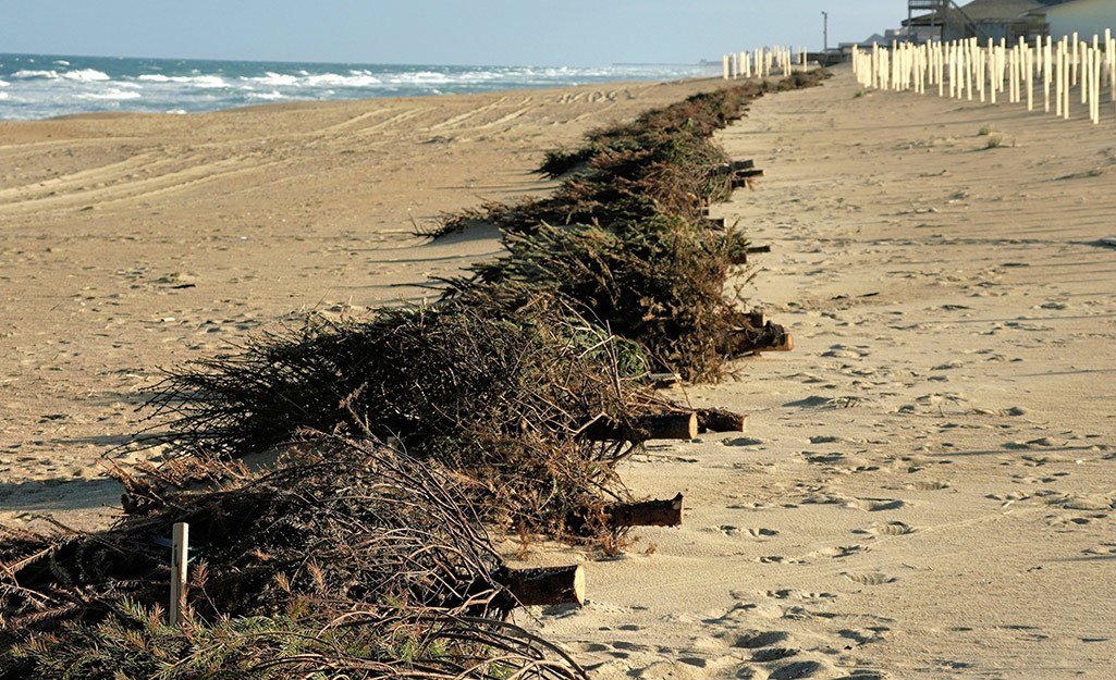 Recycled Christmas trees lined up on a beach to prevent sand eroision.