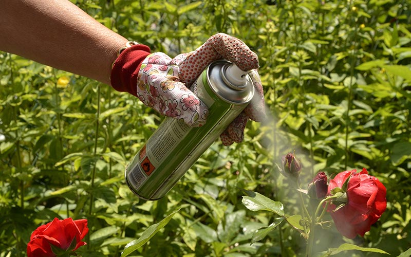 Cover up cuts - Prune Hybrid Tea or Shrub Rose