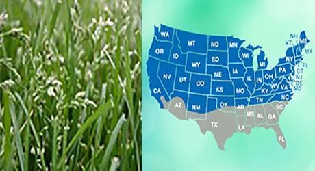 Kentucky bluegrass grass/Kentucky bluegrass grass