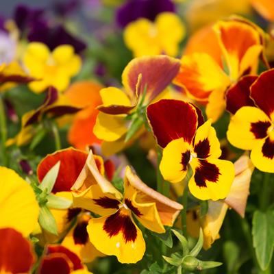 How to Plant Annuals and Perennials for Winter Color