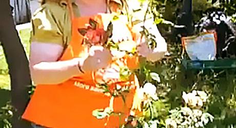 Remove old canes - Prune Hybrid Tea or Shrub Rose