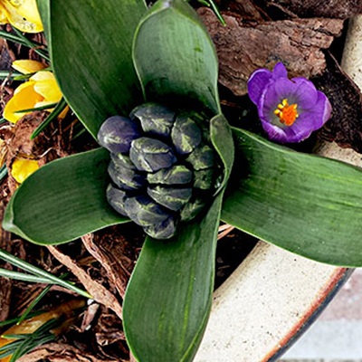 Layer Bulbs in Pots Now for a Spring Full of Blooms