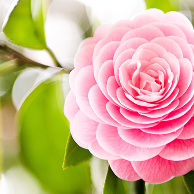 Plant Camellias Now for Dazzling Winter Blooms