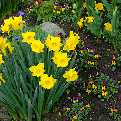 Plant Daffodils That Handle the Heat