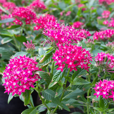 South Florida Perennial Flowers To Plant The Home Depot