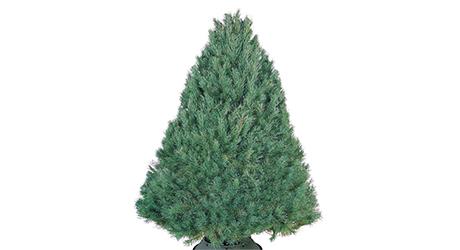 Scotch - Live Christmas Trees