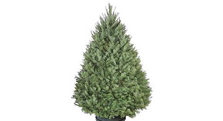 Douglas - Live Christmas Trees