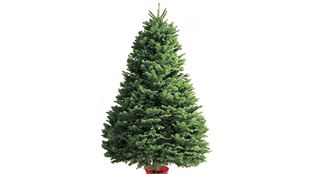 Noble - Live Christmas Trees