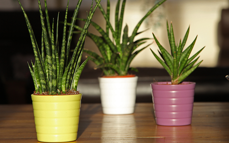 Three small snake plants in colorful pots.