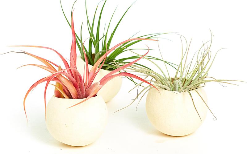 Three air plants in white ceramic planters.