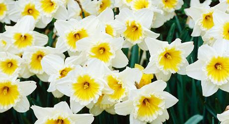Grow Bulbs for Cut Flowers