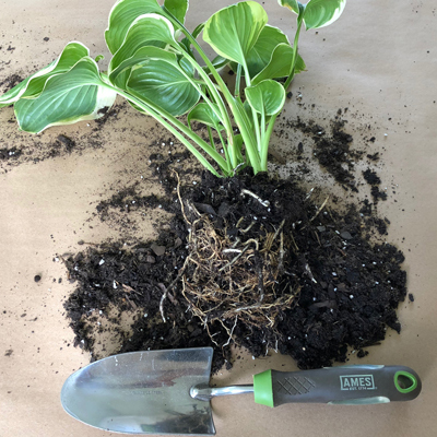 Want Free Plants? Divide Perennials Now.