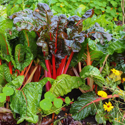 Colorful chard leaves in a vegetable garden