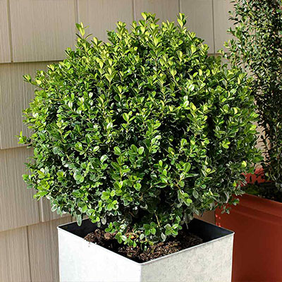 All About Boxwood