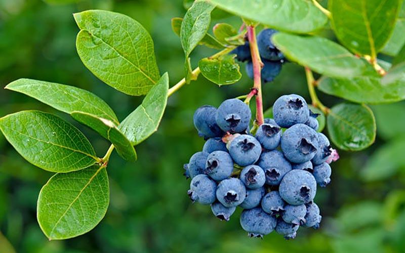 Bluster of ripe blueberries