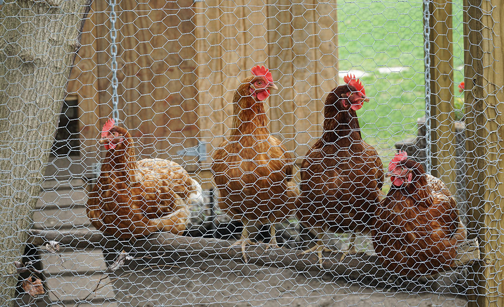Four chickens roosting on a log.