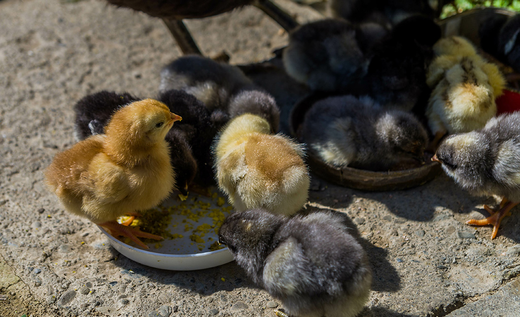Day old chickens eating feed from a dish.