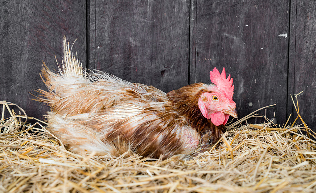 A chicken laying in a straw nest.