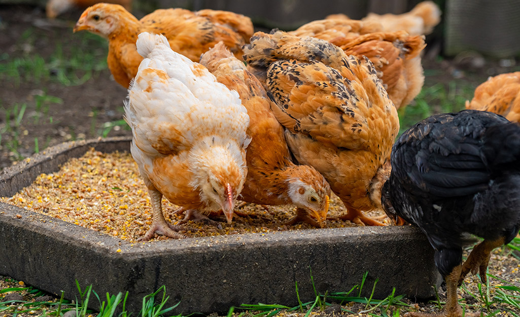 Chickens eating feed.