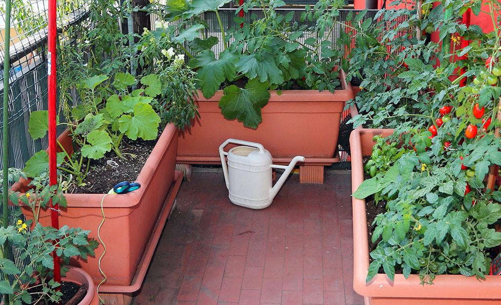 A patio vegetable garden growing in terra cotta planters.