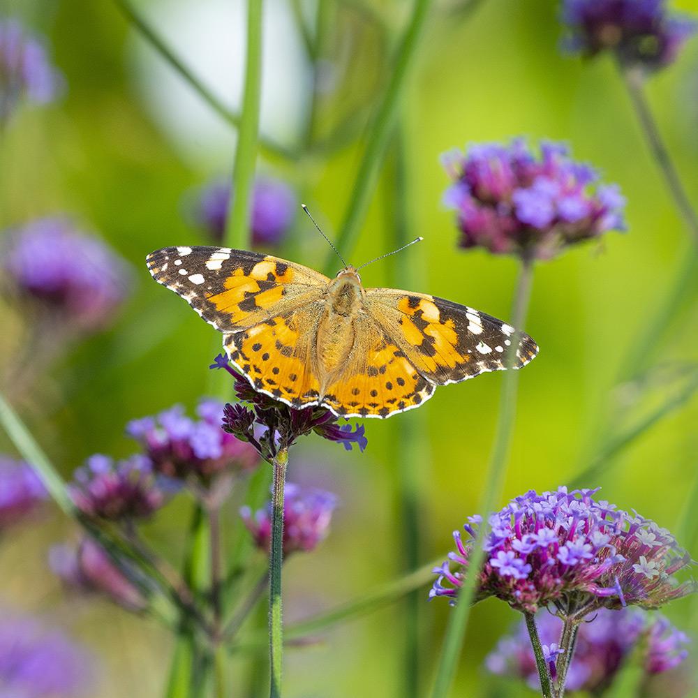 Butterfly on butterfly weed in summer garden.