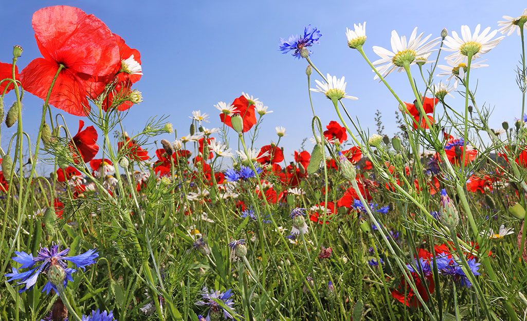 Red, white and purple blooms in a summer meadow against a blue sky.