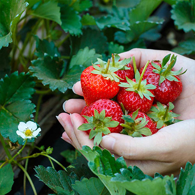 Berry Picking: One for Me, Two for the Bucket