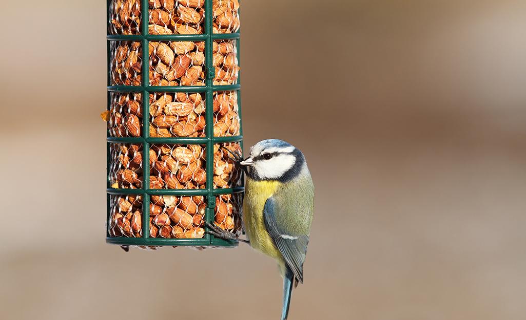 Small bird eats from a wire peanut bird feeder.