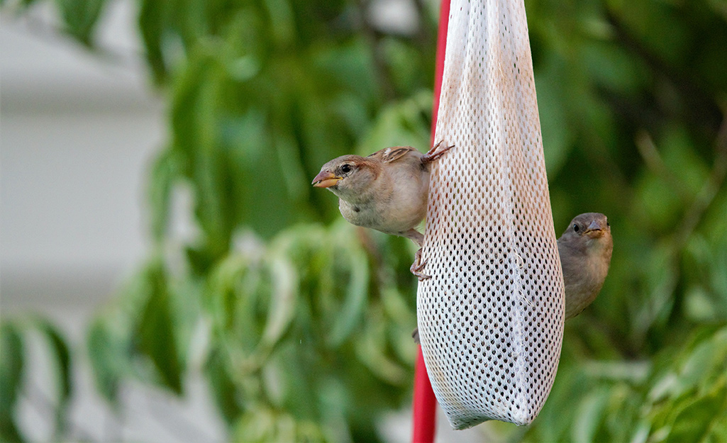 Finches cling to a nyjer thistle sock feeder.
