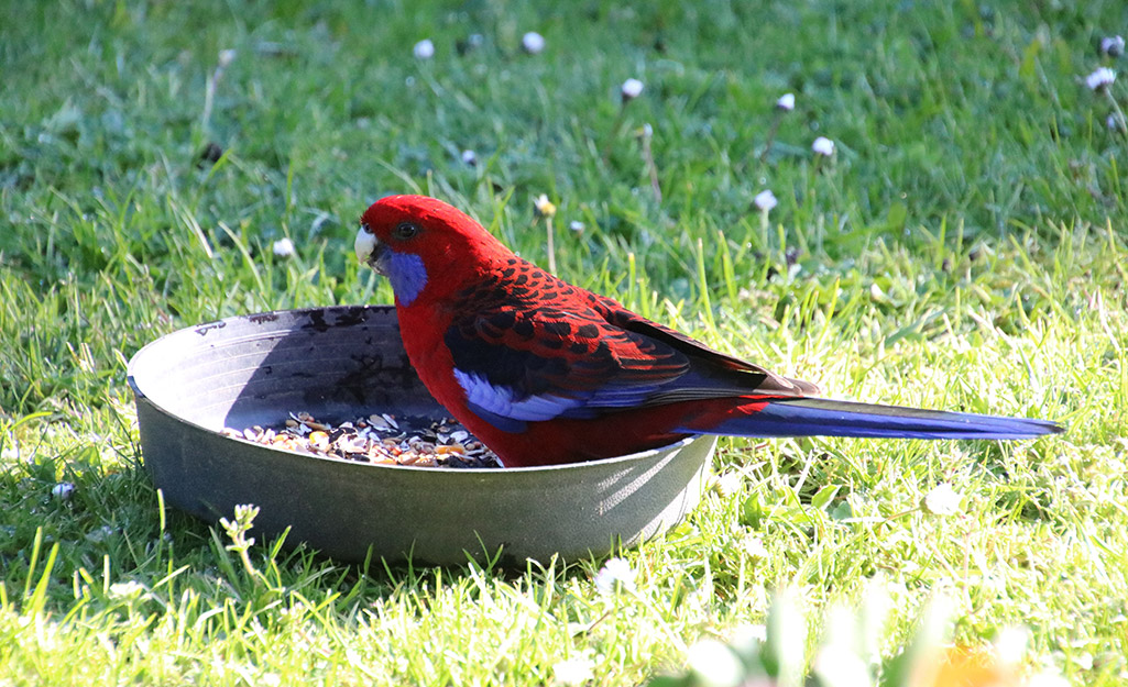 Red and blue bird sits in a ground tray bird feeder.