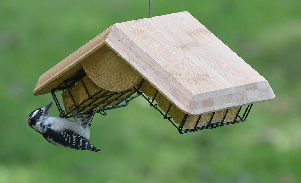Woodpecker hangs from a suet cage bird feeder.