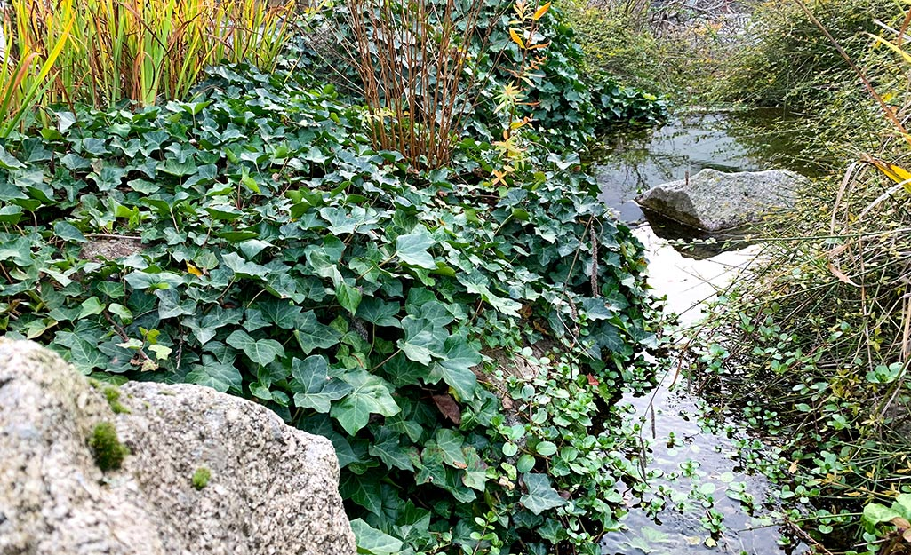 English ivy covering a slope by a creek